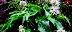 indian-spikenard